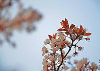 阳光蓝天海棠花枝