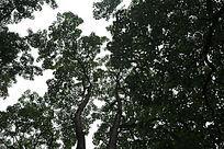 仰视森林拍摄