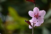 一枝桃花独自开吸引路人移步来