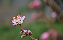 一枝桃花一朵盛开其余含苞待放