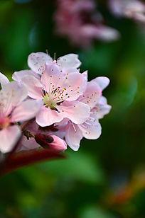 在阳光下盛开的桃花花枝近拍图