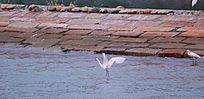 白鹭鸟厦门市鸟