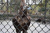 关押着渴望自由的秃鹫