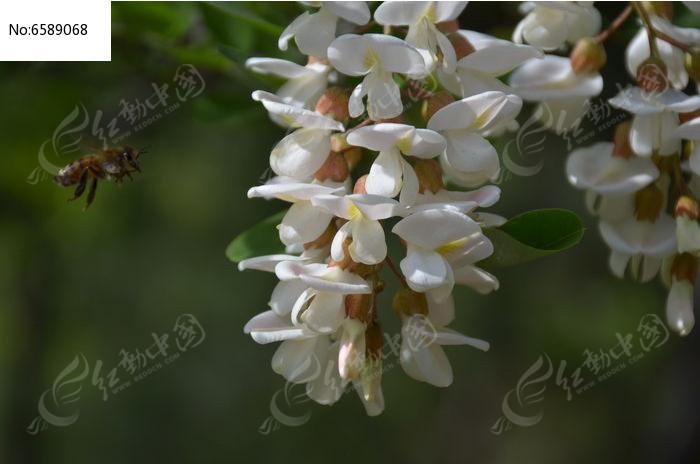 原创摄影图 自然风景 田野田园 槐花和小蜜蜂