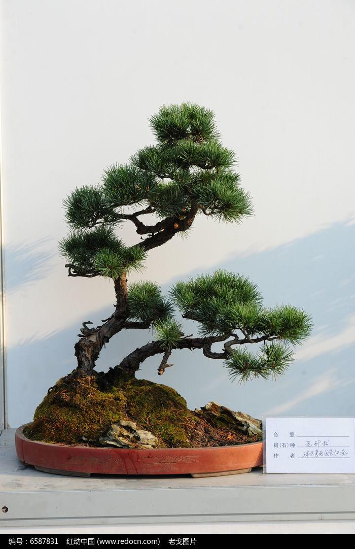 原创摄影图 动物植物 树木枝叶 罗汉松盆景