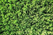 绿色的松柏墙