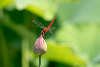 蜻蜓亲吻荷花