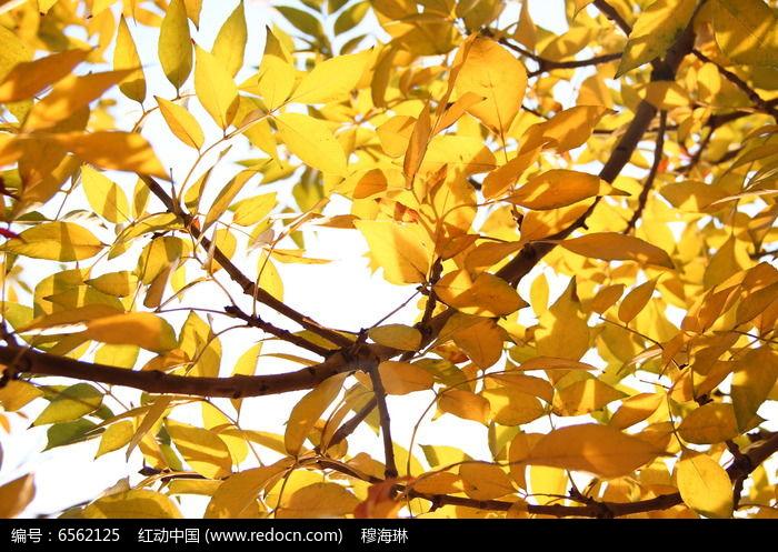原创摄影图 动物植物 树木枝叶 秋天黄色树叶背景图  请您分享: 红动