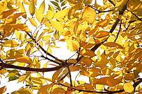 秋天黄色树叶背景图