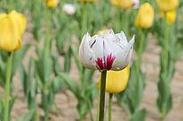 盛放的白色郁金香