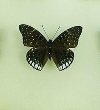 亚洲蝴蝶白斑黑翅粉蝶标本