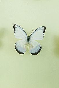 亚洲蝴蝶白翅黑锯粉蝶标本