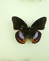 亚洲蝴蝶波丽斑粉蝶标本
