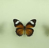 亚洲蝴蝶黑白锯蛱蝶标本标本