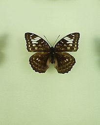 亚洲蝴蝶黑斑点标本