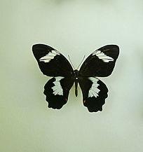 亚洲蝴蝶黑翅白斑蝶标本