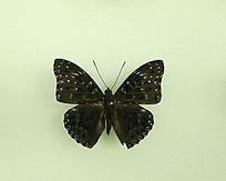 亚洲蝴蝶黑翅白点粉蝶标本