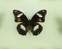 亚洲蝴蝶黑翅白色斑蝶标本
