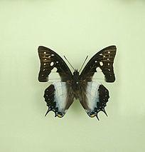 亚洲蝴蝶黑翅蛱蝶标本