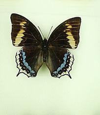 亚洲蝴蝶黑翅蓝斑蛱蝶标本