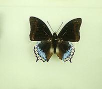 亚洲蝴蝶黑翅青蛱蝶标本