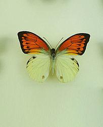亚洲蝴蝶红黑锯蛱蝶标本
