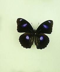 亚洲蝴蝶蓝斑蛱蝶标本