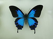 亚洲蝴蝶蓝色闪电蝶标本