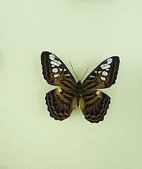 亚洲蝴蝶穆蛱蝶标本