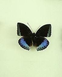 亚洲蝴蝶凝电蛱蝶标本