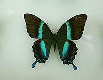 亚洲蝴蝶闪电蛱蝶标本