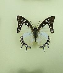 亚洲蝴蝶优雅蛱蝶标本