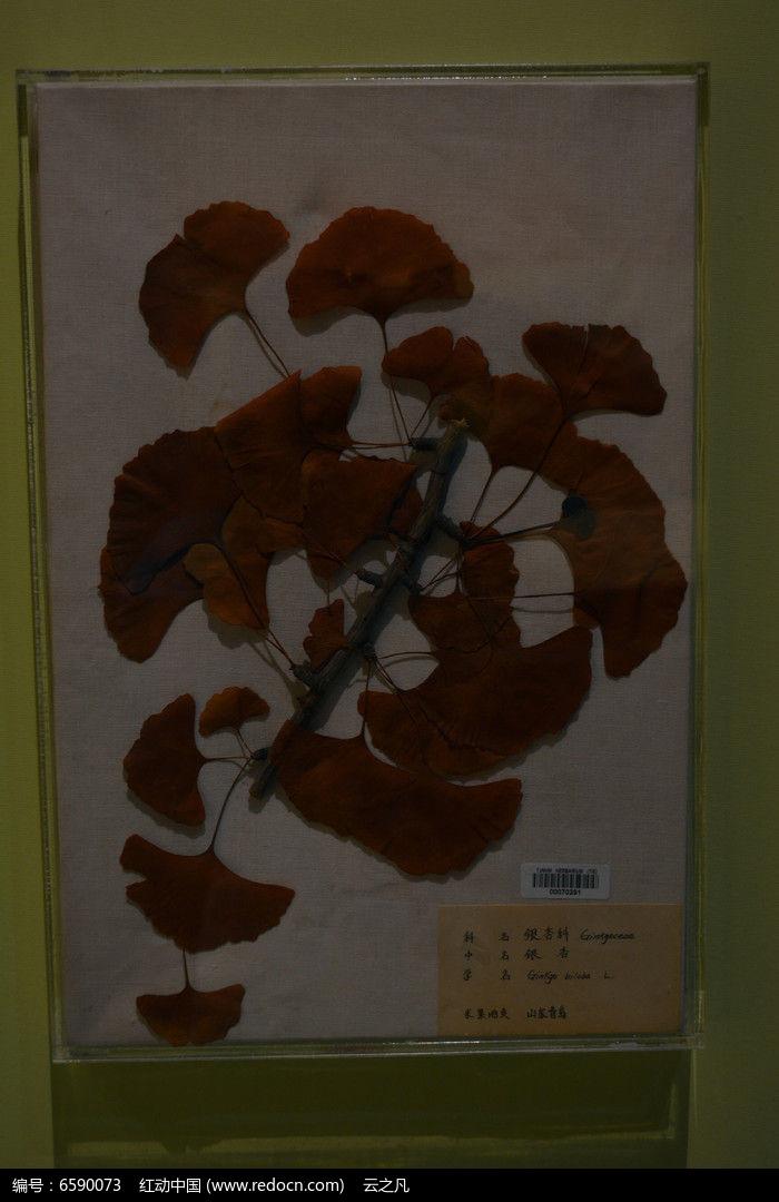 银杏树叶标本