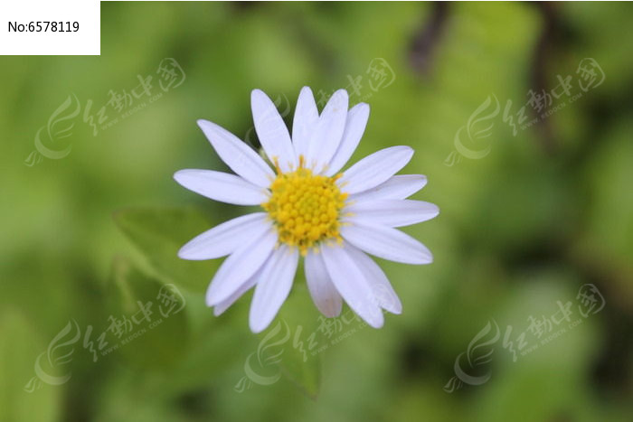 紫菀图片,高清大图_花卉花草素材