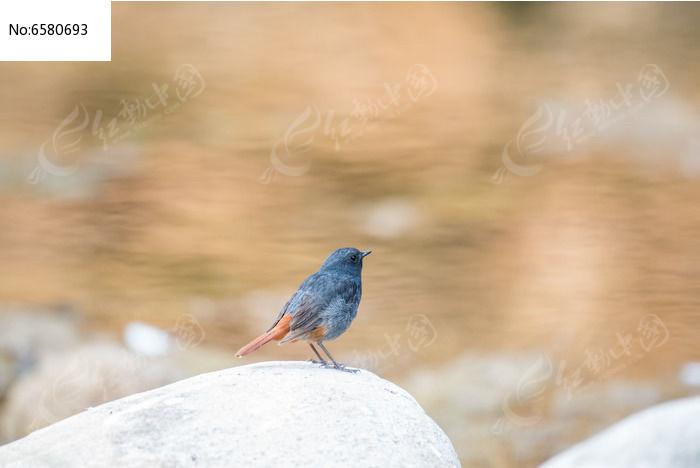 红尾水鸲眺望远方图片,高清大图_空中动物素材