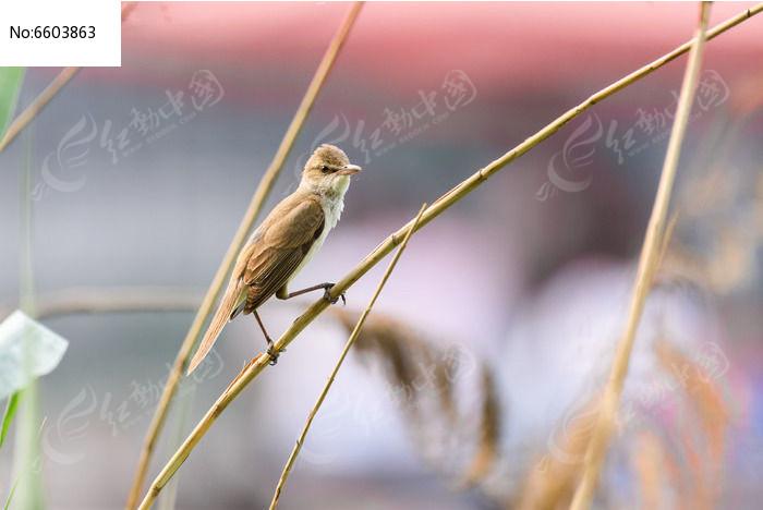 原创摄影图 动物植物 空中动物 芦苇杆上的大苇莺