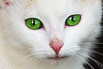绿色的猫眼
