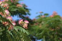 美丽的榕花