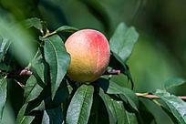 树上的桃子