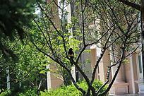 树枝上小憩的喜鹊