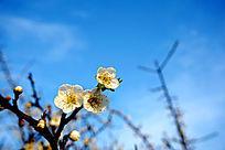 蔚蓝天宇下的梅花