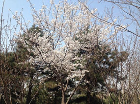 雪白樱花树