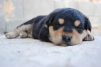 正在熟睡的小狗崽
