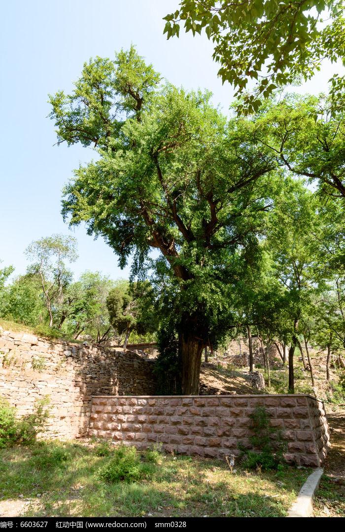 古树图片,高清大图_树木枝叶素材