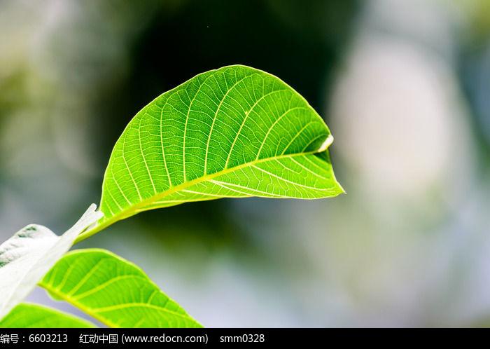 核桃树叶图片,高清大图