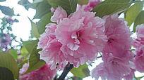 粉嫩的花朵