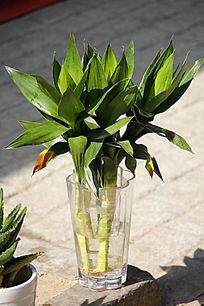 土培观音竹怎么养