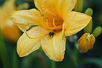 花苞与黄花之恋