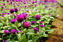 千日红花卉