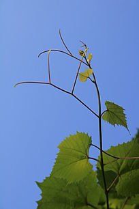 野生葡萄藤蔓